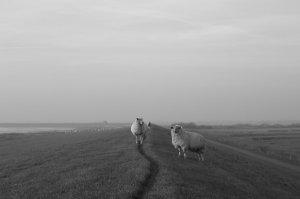 Schafe_aufm_Deich
